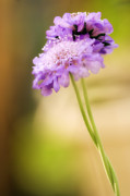 Pincushion Flower Prints - Pincushion Flowers (scabiosa Columbaria) Print by Maria Mosolova
