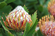 Pincushion Flower Framed Prints - Pincushion Protea Framed Print by Neil Overy