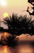 Rita Ariyoshi Prints - Pine and Sunset Print by Rita Ariyoshi - Printscapes