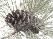 Pine Needles Photos - Pine Branch by Angi Parks