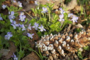 Forest Floor Posters - Pine cone and Spring Phlox Poster by Michael Peychich