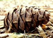 Golds Posters - Pine Cone Poster by Cindy Wright