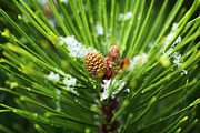 Pine Needles Framed Prints - Pine Cone Cloeup Framed Print by Marilyn Hunt