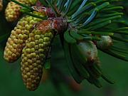 Cone Originals - Pine Cone by Juergen Roth