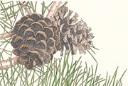 Vineyard Drawings Prints - Pine Cone Print by Marci Mongelli