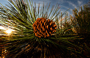 Pine Cone Framed Prints - Pine Cone Framed Print by Terry Elniski