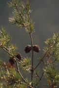 Pine Cones At The Top Of A Small Pine Print by Raymond Gehman