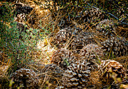 Pine Cones Posters - Pine Cones Poster by Cathy Smith