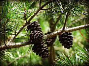 Pine Cones Posters - Pine Cones Poster by Crystal Joy Photography