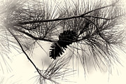 Pine Trees Metal Prints - Pine Cones in the Treetops Metal Print by Douglas Barnard
