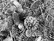 Pine Cones Art - Pine Cones by Theresa Baker