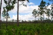 Saw Palmetto Prints - Pine Flatwoods Print by Steven Scott