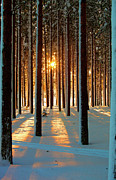 Cold Temperature Metal Prints - Pine Forest Metal Print by www.WM ArtPhoto.se