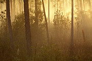 Slash Art - Pine Golden Misty Dawn Everglades by Scott Leslie