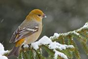 Winter Storm Art - Pine Grosbeak-female in the winter storm by Mircea Costina Photography