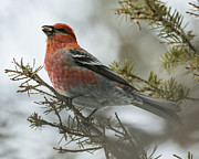 Larry Gambon - Pine Grosbeak