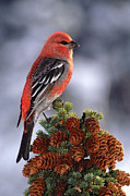 Profile Posters - Pine Grosbeak Pinicola Enucleator Male Poster by Michael Quinton
