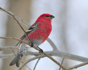 Tony Photos - Pine Grosbeak by Tony Beck