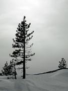 Frank Wilson - Pine In Snow