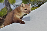 Climbing Acrylic Prints - Pine Marten Acrylic Print by Photo By Daryl L. Hunter - The Hole Picture