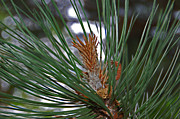 Pine Needles Photos - Pine Needles by Aimee L Maher