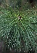 Pine Needles Framed Prints - Pine (pinus Sp.) Framed Print by Maxine Adcock