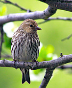 Finch Photos - Pine Siskin Finch baby by Karon Melillo DeVega