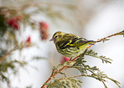 Song Bird Photos - Pine Siskin. by Kelly Nelson