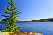 Fall Prints - Pine tree at lake shore Print by Elena Elisseeva