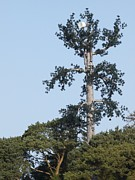Aerials Prints - Pine Tree Communication Mast Print by Adrian Bicker