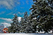 Freezing Prints - Pine Tree Haven Print by Robert Harmon