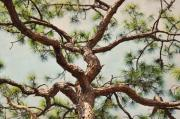 Slash Metal Prints - Pine Tree Metal Print by Rose  Hill