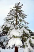 Frozen Beach Shore Prints - Pine Tree Print by Svetlana Sewell