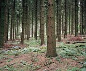 Forest Floor Prints - Pine Trees (pinus Sp.) Print by Michael Marten