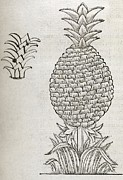 European Fruit Framed Prints - Pineapple, 16th Century Artwork Framed Print by Middle Temple Library