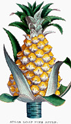 1789 Prints - Pineapple, 1789 Print by Granger