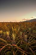 Pineapple Field Of Waialua Print by Kenton Wandasan