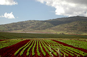 Hawai Prints - Pineapple Fields Print by Mark Gilman