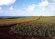 Pineapple Prints - Pineapple Fields Print by Will Borden