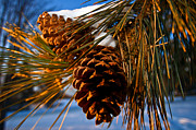 Pine Cones Framed Prints - Pinecones In Winter Framed Print by Terry Elniski