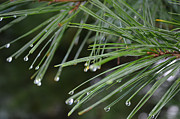 Pine Needles Photos - Pines meet rain by Lindsay Nelsen