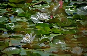 Pond Pyrography Framed Prints - Pinewood Pond Lilly Framed Print by Calvin Nelson