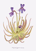 Drawings Framed Prints - Pinguicula gypsicola Framed Print by Scott Bennett