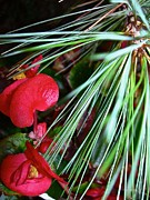 Pine Needles Photos - Pining For Red by Randy Rosenberger