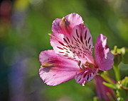 Plant Art - Pink Alstroemeria Flower by Rona Black