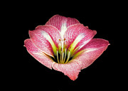 Flower Works Photos - Pink Amaryllis. by Chris  Kusik
