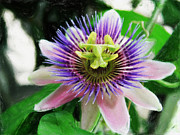 Passiflora Paintings - Pink and purple Passiflora 301 by Dean Wittle