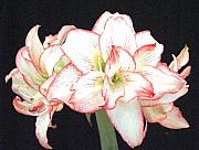 Greeting Card - Pink and White Amaryllis Group by Frederic Kohli