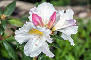 Cluster Of Flowers Photo Posters - Pink and White Azalea Poster by Anthony Citro