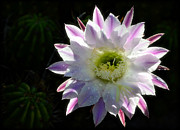 White Flower Photos - Pink and White Cactus Flower by Saija  Lehtonen